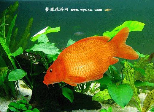 荷包红鲤鱼的诱惑
